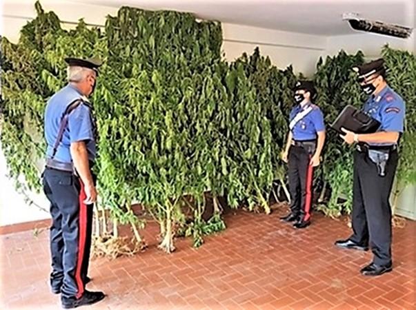 carabinieri levanto, piantagione marijuana, cronaca