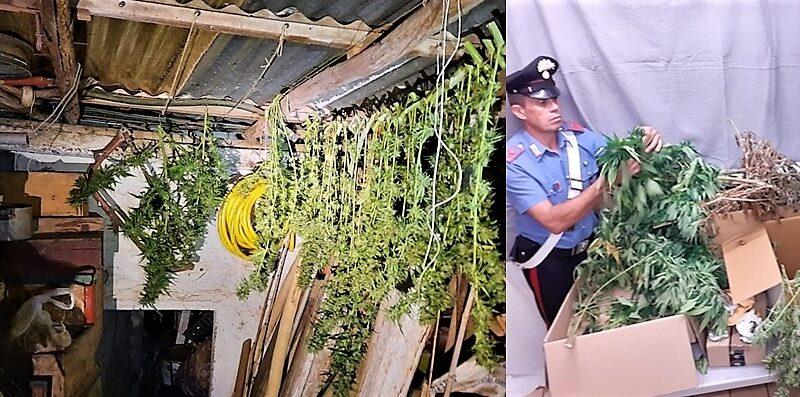 carabinieri albissola, cronaca, piantagione marijuana albisola