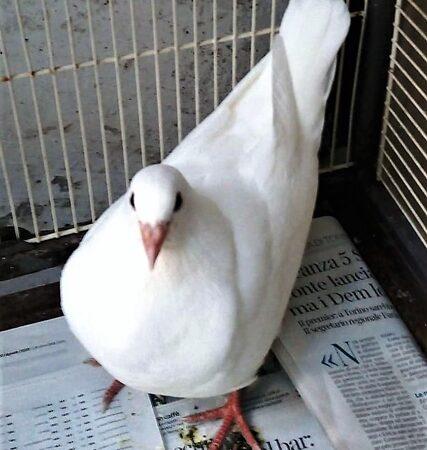 colombe bianche legate, enpa savona