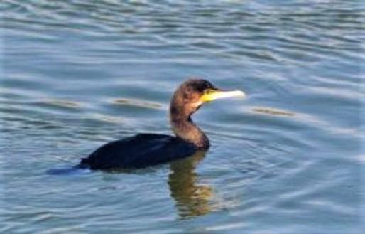 Liberato un cormorano a Cairo Montenotte dai volontari della Protezione Animali