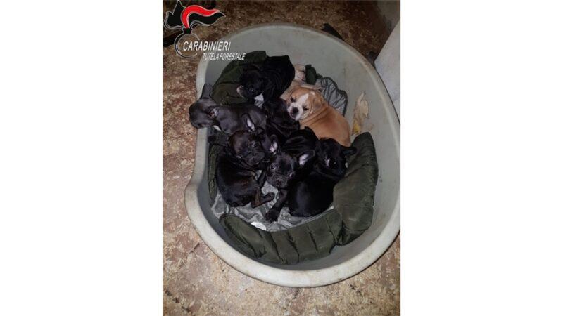 traffico cuccioli cane, carabinieri forestali cuneo, cronaca