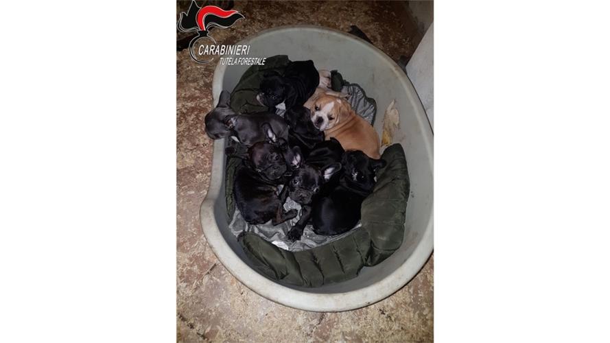 Traffico internazionale cuccioli cane smascherato dai Carabinieri Forestali di Cuneo