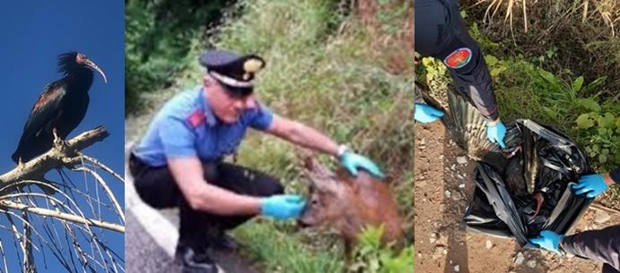 Ritrovato il corpo di Ibis eremita, 550 esemplari in tutto il mondo, dai carabinieri Forestali di Spezia