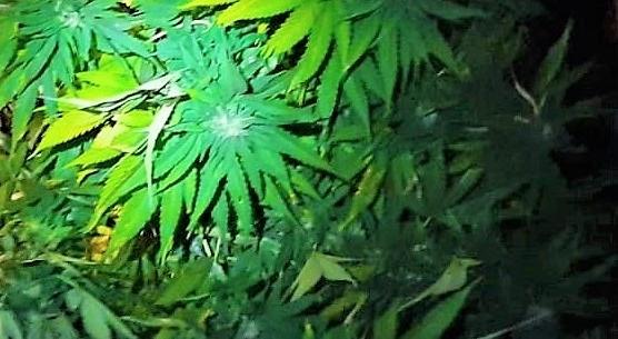 cannabis, coltivazione cannabis