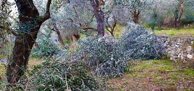 prodotti tipici liguri, coldiretti, raccolta olive