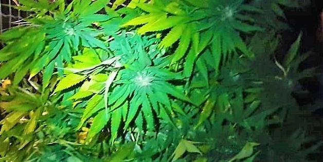 cannabis terapeutica, coldiretti vendita cannabis