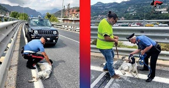 Cane da caccia sul cavalcavia a Ventimiglia, salvato dai Carabinieri